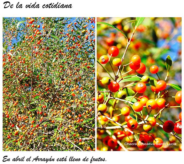 Frutos de Arrayàn - Chacra Educativa Santa Lucía