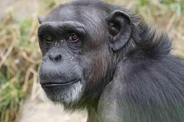 10-compares-between-chimpanzee-and-Human-10-مقارنات-و-فرق-بين-اوجه-التشابه-و-الاختلاف-بين-الشمبانزي-والانسان