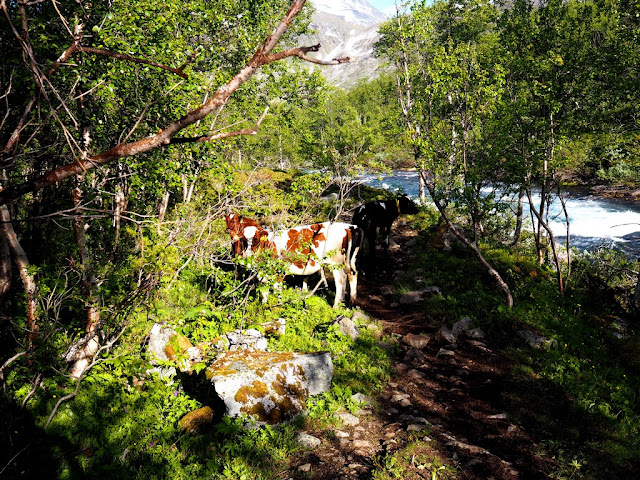 Krávy, Gjende, příroda, trek, Jotunheimen, Norsko