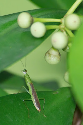 mantid sp