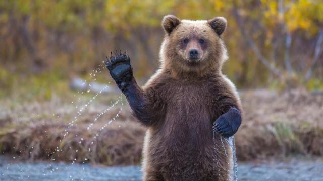 Trump permite que los cazadores ataquen a los osos grizzly