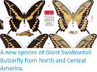http://sciencythoughts.blogspot.co.uk/2015/01/a-new-species-of-giant-swallowtail.html