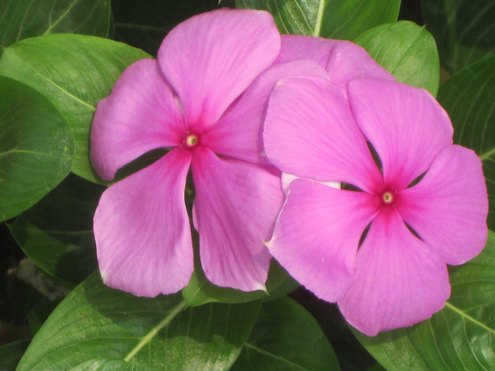 Kopana Karen ... In Thailand: Thailand Flowers