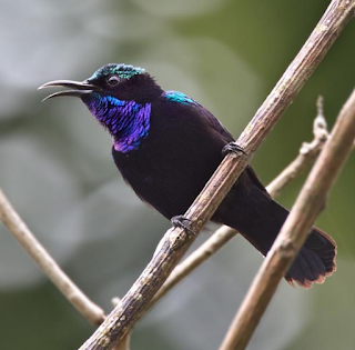 kolibri black sunbird trotol  black sunbird trotol jantan  download suara black sunbird  perbedaan king konin dan black sunbird  download suara burung black sunbird  black sunbird papua  mp3 burung black sunbird  kolibri black sun bird