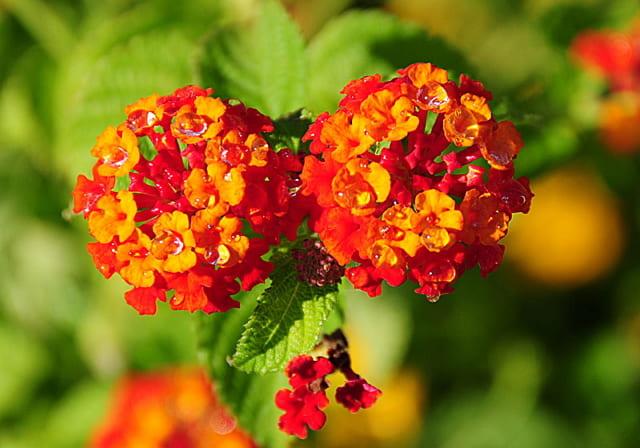 tanaman hias bunga lantana