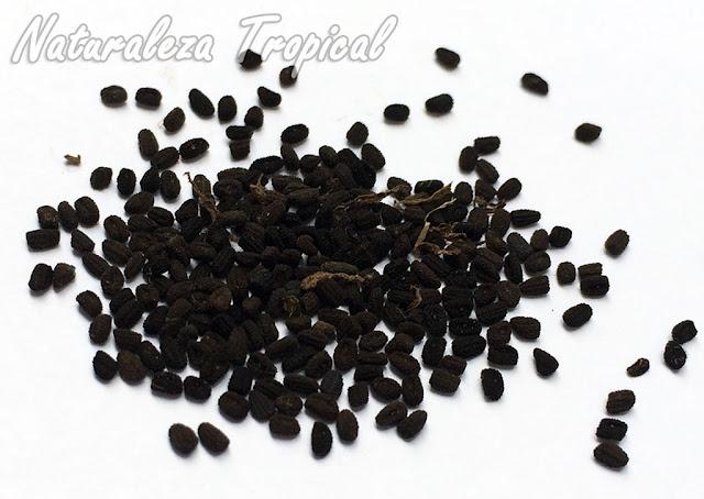 Semillas maduras de Vicarias o Teresitas donde se observa la coloración pardo-oscura, Catharanthus roseus o Vinca rosea