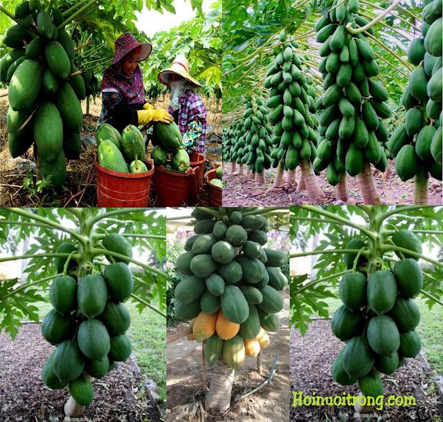 Đu đủ lùn cao sản Thái Lan trồng xong thu hoạch sướng tay