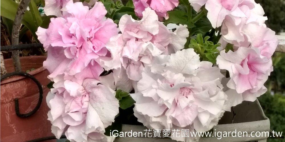 第748回花謎擂台 | iGarden花寶愛花園
