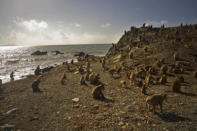 Острівні мавпи в Пуерто-Рико.