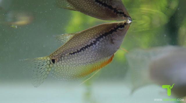 Cara Memilih Bibit Ikan Gurame Untuk Dibudidaya