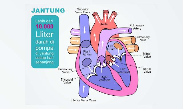anatomi fisiologi jantung manusia