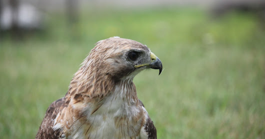 Hawk migration count
