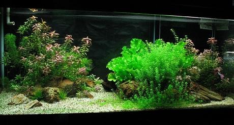bố cục hồ thủy sinh đơn giản với đá nhỏ