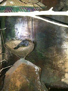 Burung Cucak Rowo - Perawatan Anakan Burung Cucak Rowo - Penangkaran Burung Cucak Rowo