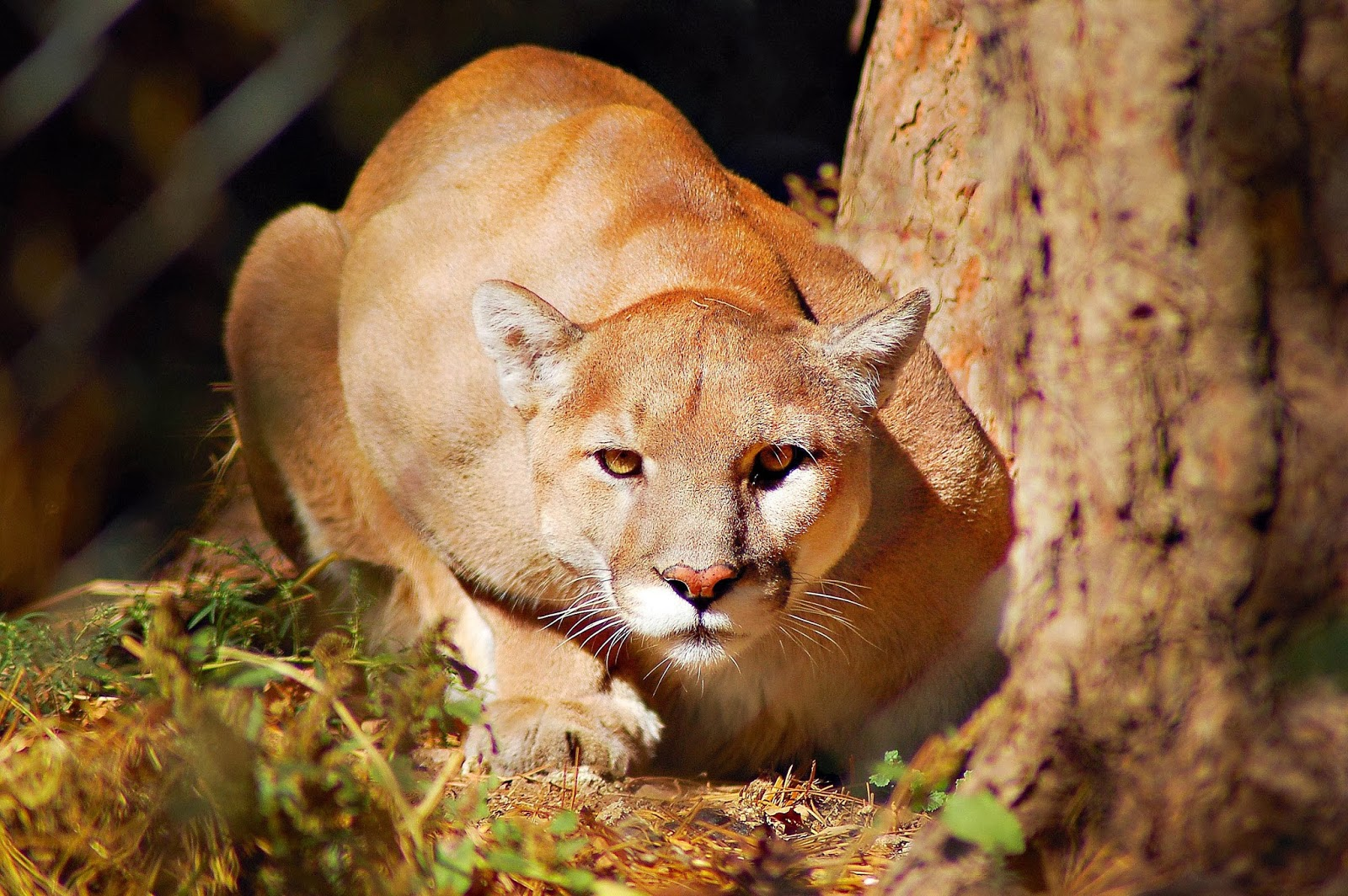 Mountain Lion | Interesting Facts & Pictures | Animals Lover - photo#7
