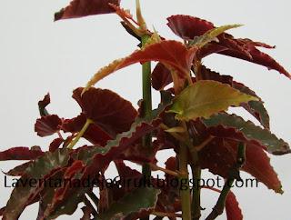 begonia-pinafore