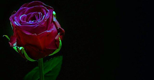 Gül Aşk Yalnızlık