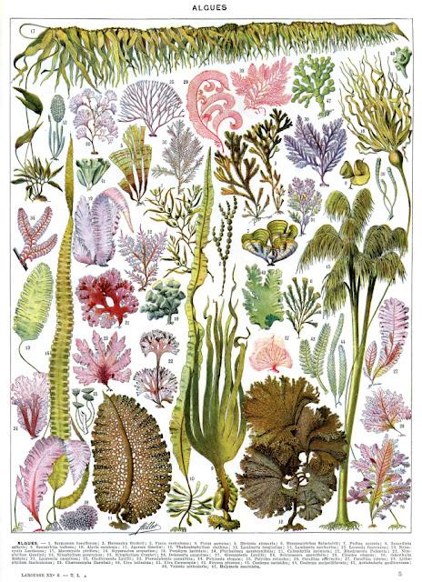 Les algues d'Adolphe Millot Wikipedia