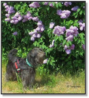 blühender lila Flieder