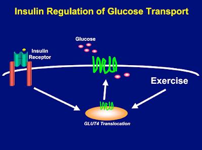 senaman diabetes gula dalam darah Glut4