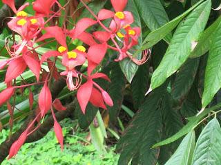 pride of Burma, Amherstia nobilis