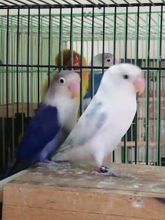 tips memilih indukan lovebird yang bagus