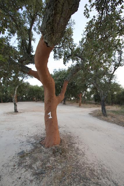 Querce da sughero vicino al Cromlech di Almendres (Cromeleque dos Almendres)