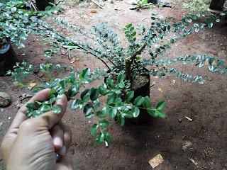 pohon mirten murah
