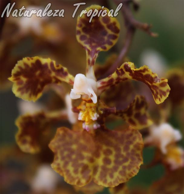 Orquídea epífita presente en bosques de países caribeños. Se conoce popularmente como Oreja de Burro. Esta es su flor característica. Trichocentrum undulatum.