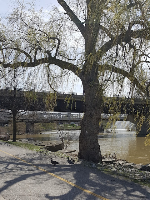 Large Willow Tree in Downtown London with Ducks