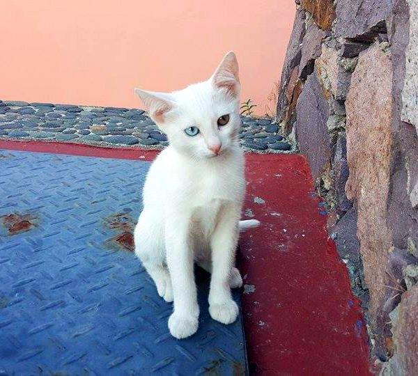eftalou white cat
