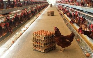 contoh ayam petelur yang diberi probiotik
