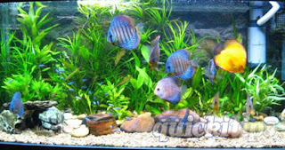 Important facts to maintain an indoor aquarium fish tank