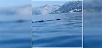 divlje svinje plivaju Makarska slike otok Brač Online