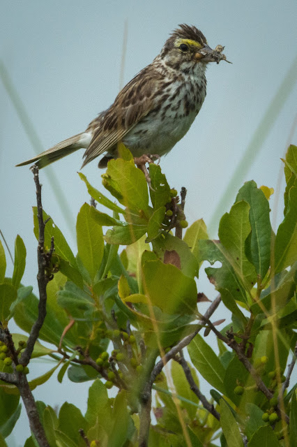 Savannah Sparrow, Monomoy National Wildlife Refuge