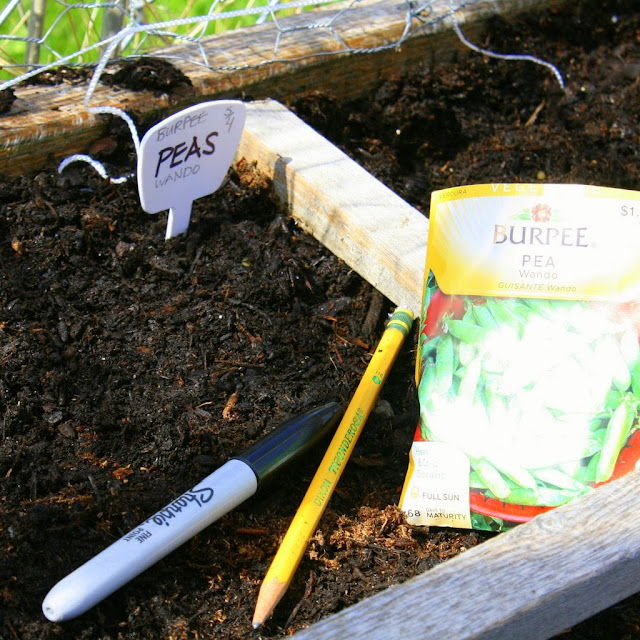 planting the peas, square foot garden, raised garden bed, springtime in the garden, artist pause to plant the garden