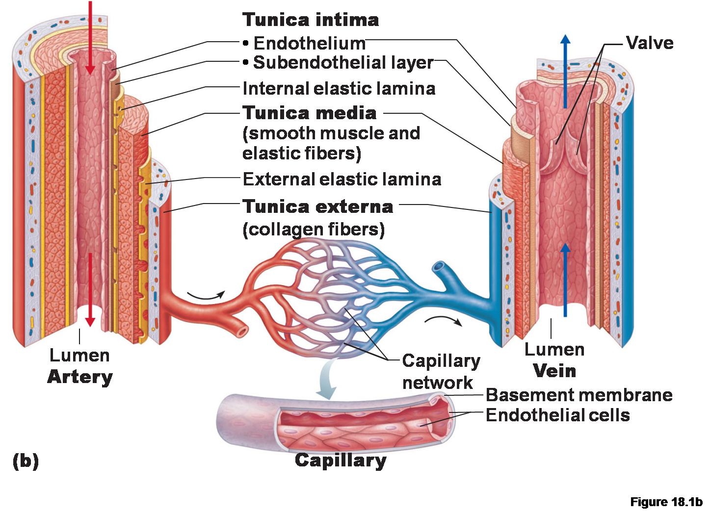 veins arteries capillaries diagram brenda's a & p eportfolio: objective 29, & 33: heart and ...