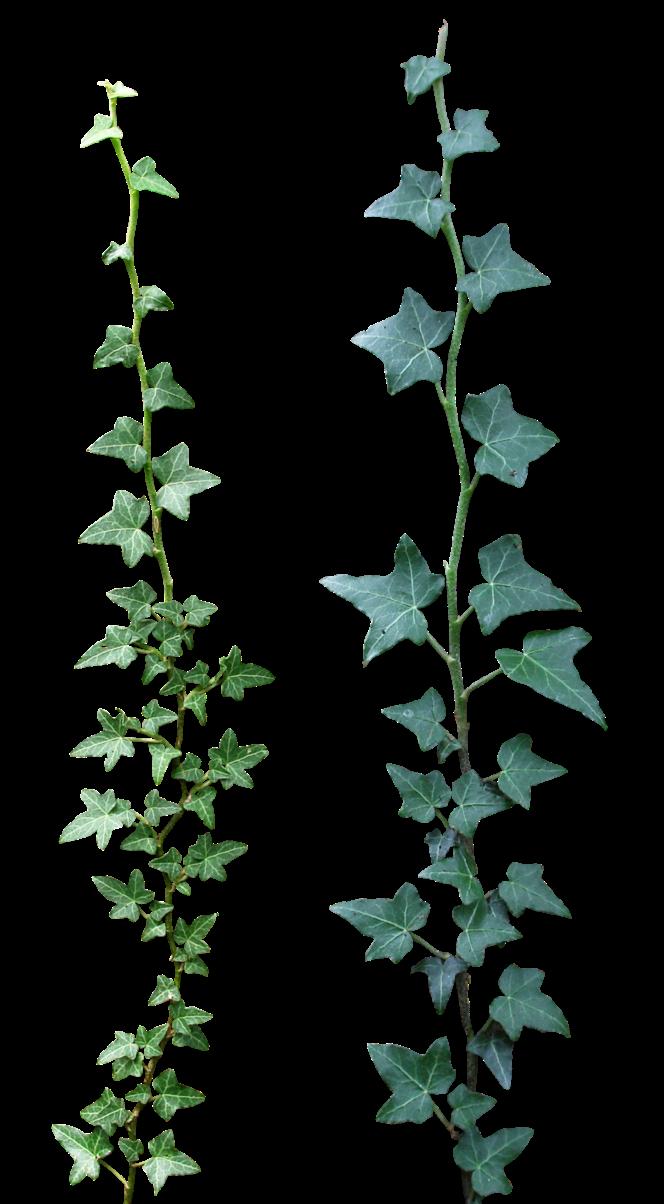 Poison Ivy Plant Tattoo مدينة عالم د...