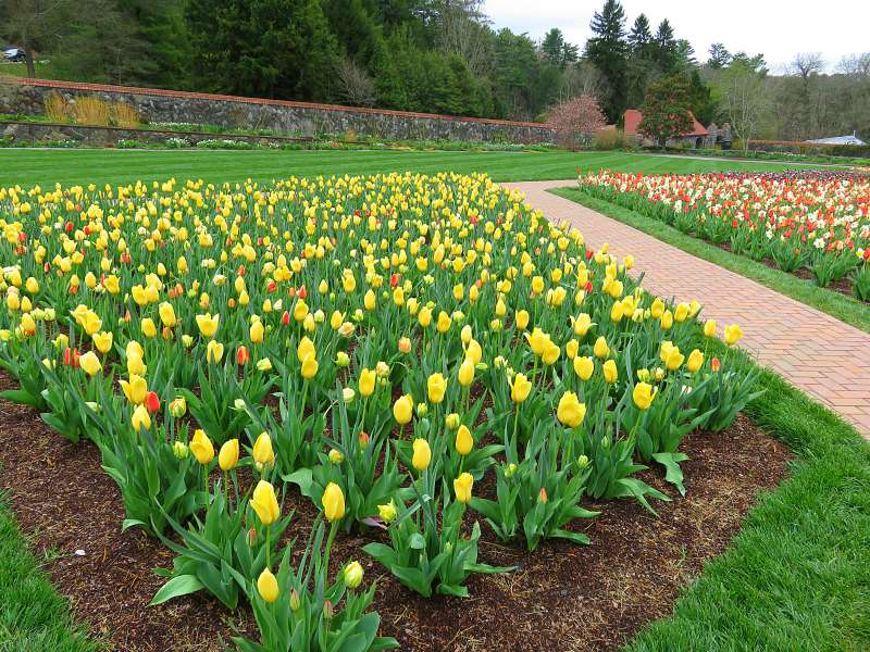 Tulip garden at Biltmore