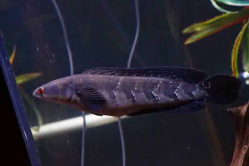 Aquacorner Channa Maruliodes Emperor Snakehead