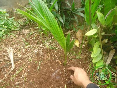 FOTO 4 :   Timbun, penimbunan sebaiknya setengah dari buah kelapa
