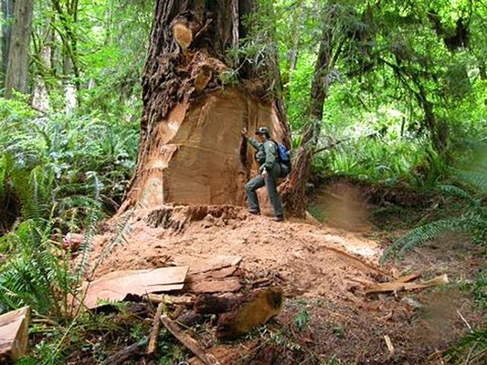 http://www.sfgate.com/news/science/article/Redwood-park-closes-road-to-deter-burl-poachers-5288751.php