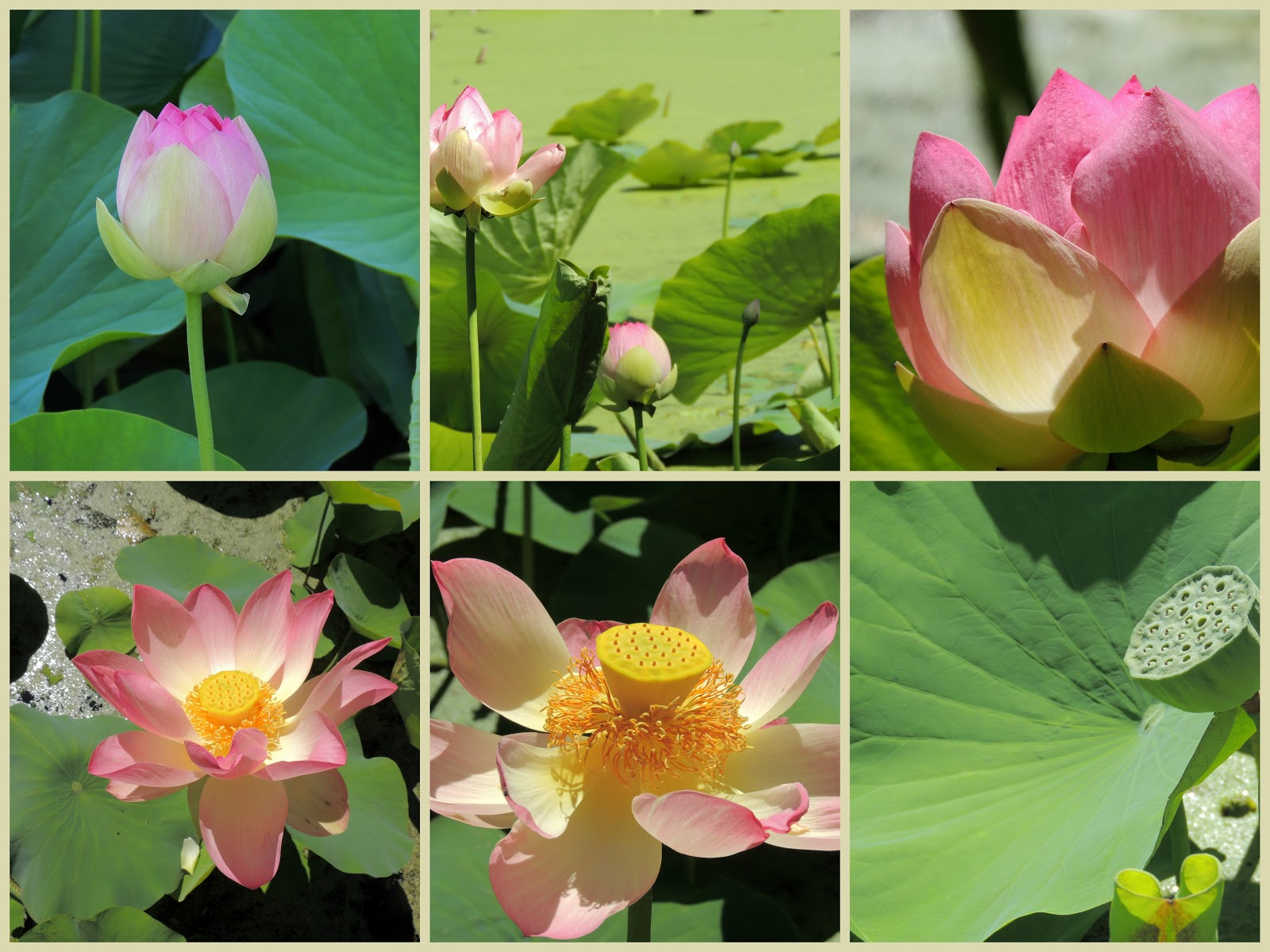 Travels Here And Abroad Lotus Flowers Lifespan