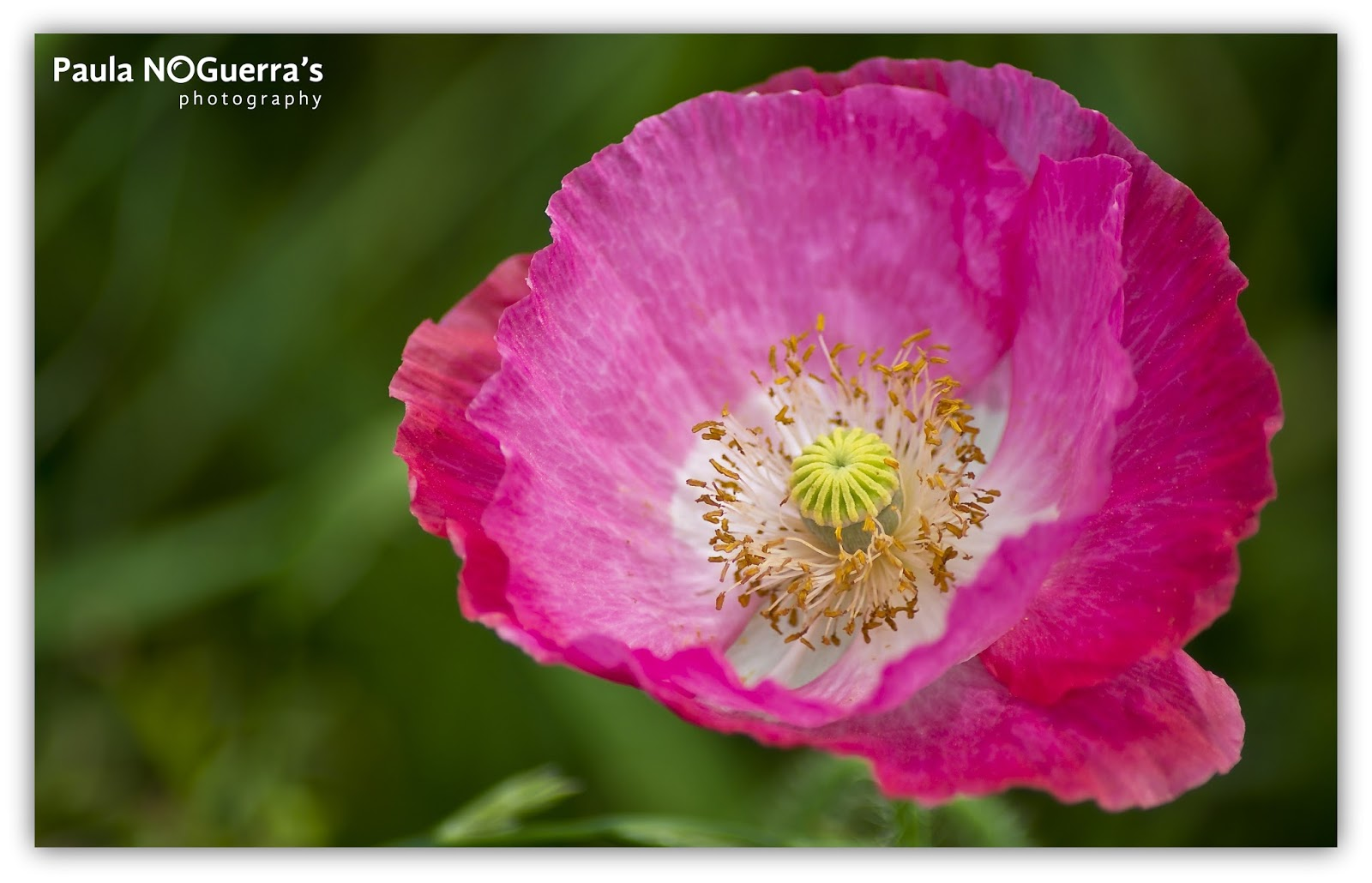 Paula Noguerras Photography Pink Poppy Flower