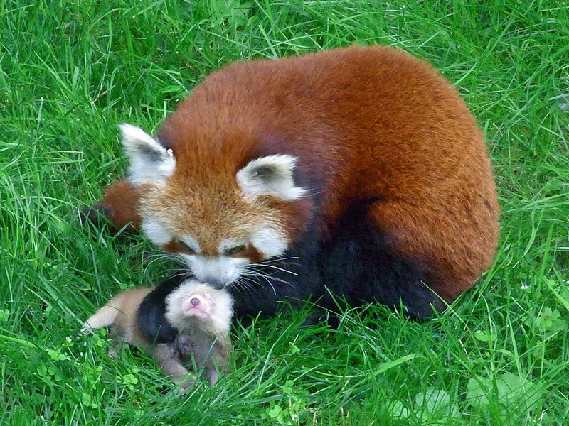 Red panda mother and cub