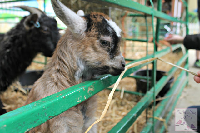 Baby Goat Kid at The Big Sheep in Devon