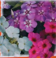 vinca rosea flower seeds