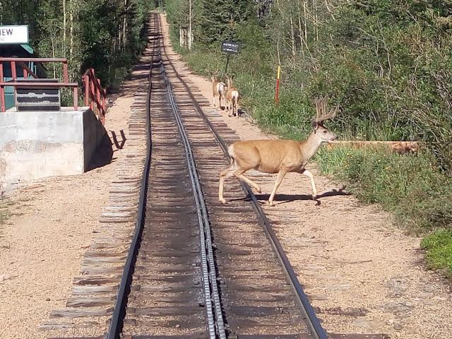 צבי על המסילה. טוב טוב, אני זז...