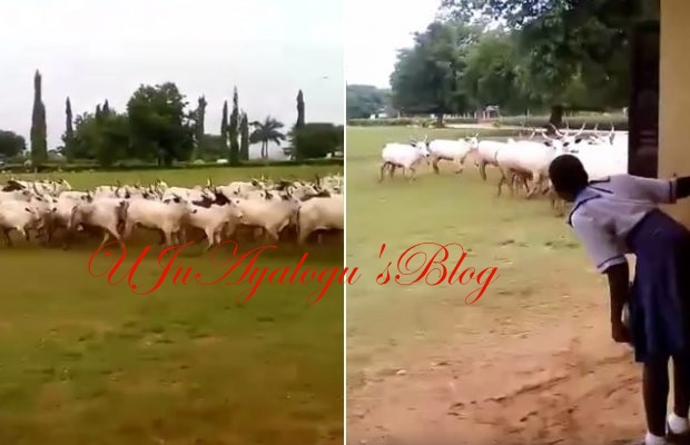 WATCH VIDEO!! Herdsmen cows invade, disrupt mid-term examination in Anambra school