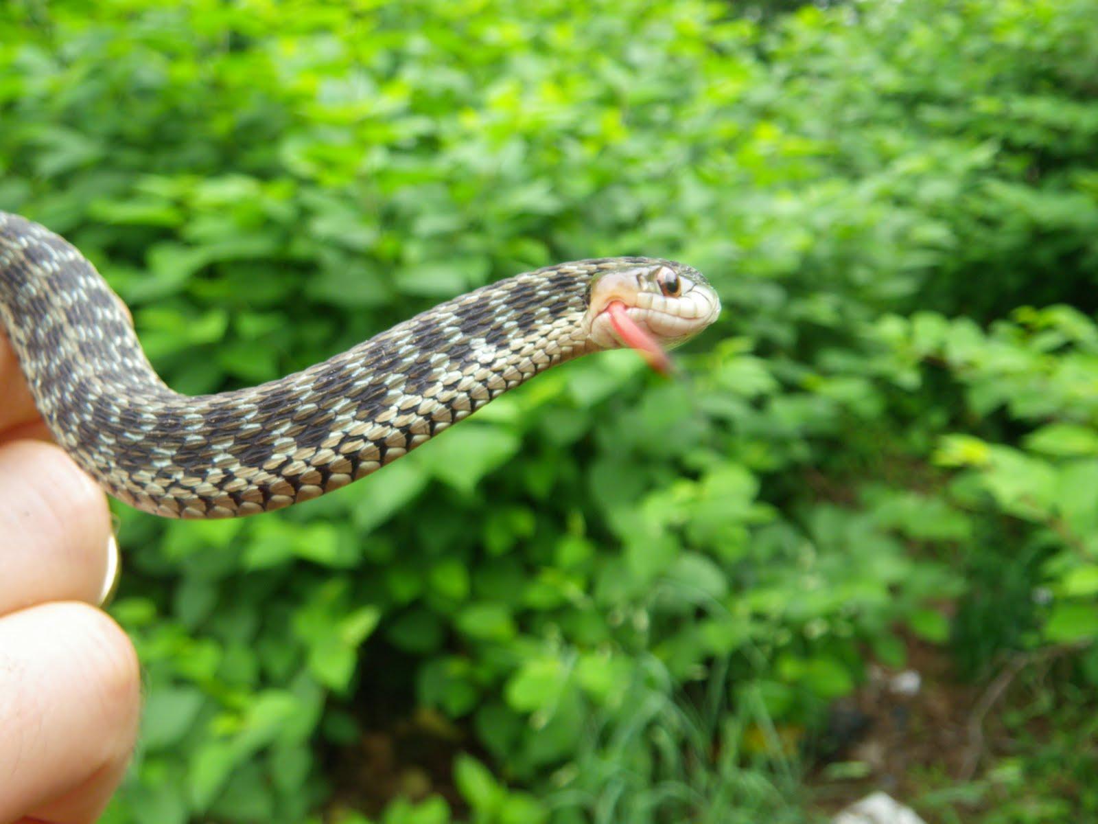 Do All Snakes Bite?   Pet Snakes - YouTube   Garter Snake Teeth
